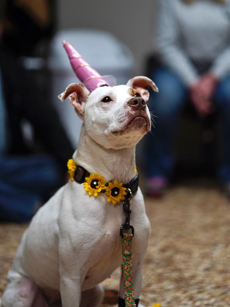 © Capture Wonder Photography - lifestyle dog photography, unicorn hat for a dog