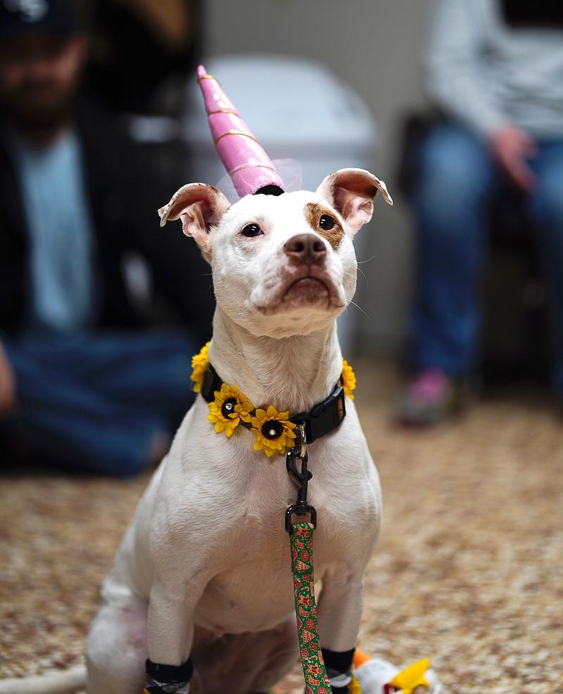 dog wearing unicorn horn, ©Capture Wonder Photography, Atlanta, GA