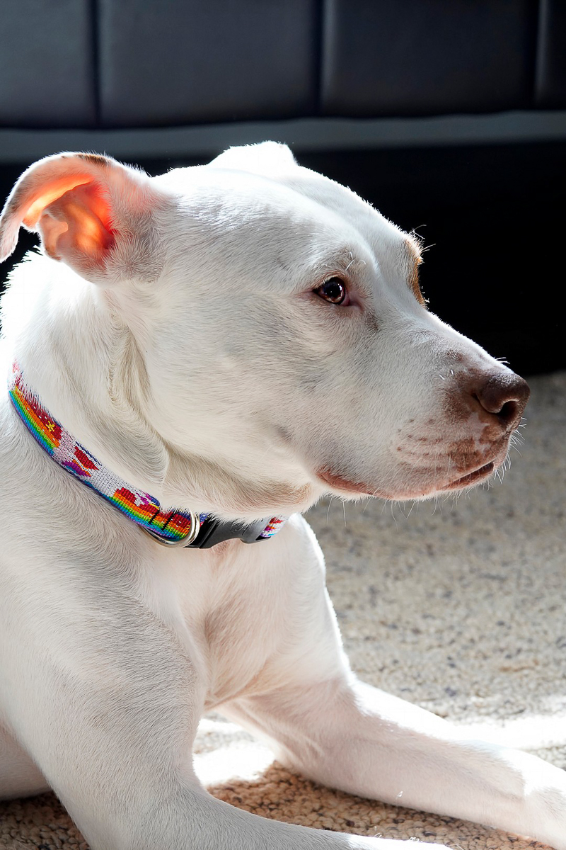 beautiful white and brown dog, ©Capture Wonder Photography, Atlanta, GA