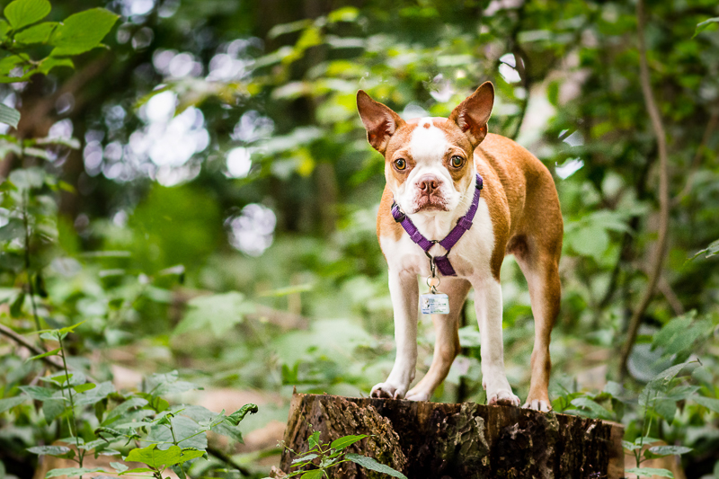 cute puppy on stump, ©Beth Photography, Ontario | lifestyle pet photographer