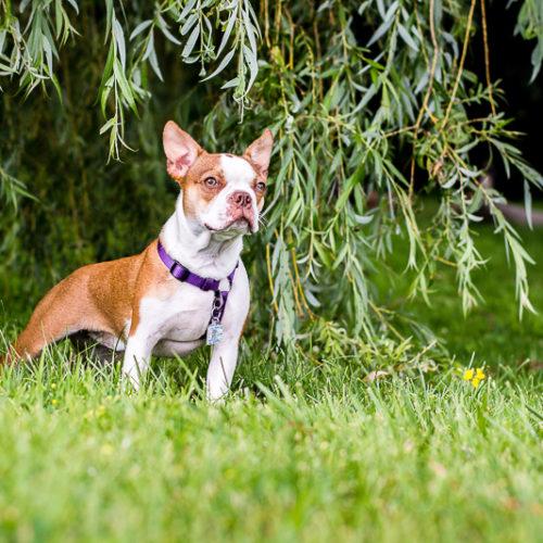 Phoebe the Boston Terrier | Ontario Pet Photography