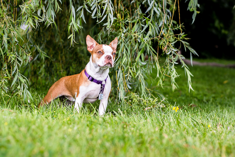 Boston Terrier puppy under willow tree, lifestyle pet photographer | ©Beth Photography, Ontario