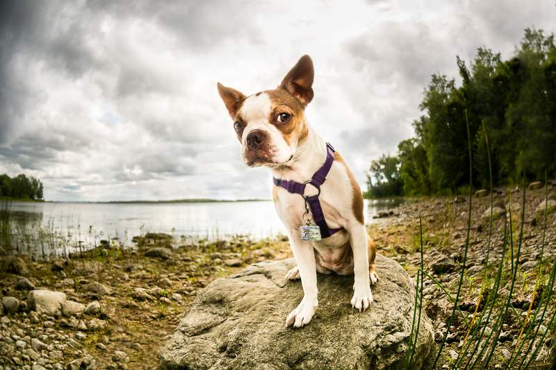 Boston Terrier giving side eye | ©Beth Photography, pet photographer serving Ottawa to Cornwall