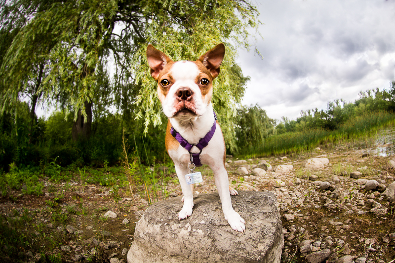 Boston Terrier standing on a rock, summer lifestyle pet portraits | ©Beth Photography, pet photographer serving Ottawa to Cornwall