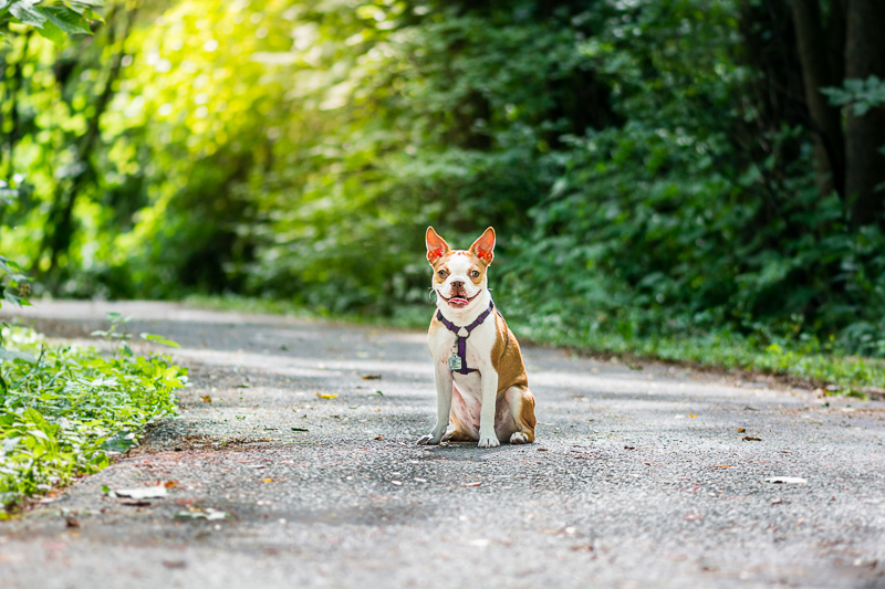 red Boston Terrier sitting on path, lifestyle pet portraits | ©Beth Photography, Ottawa - Cornwall