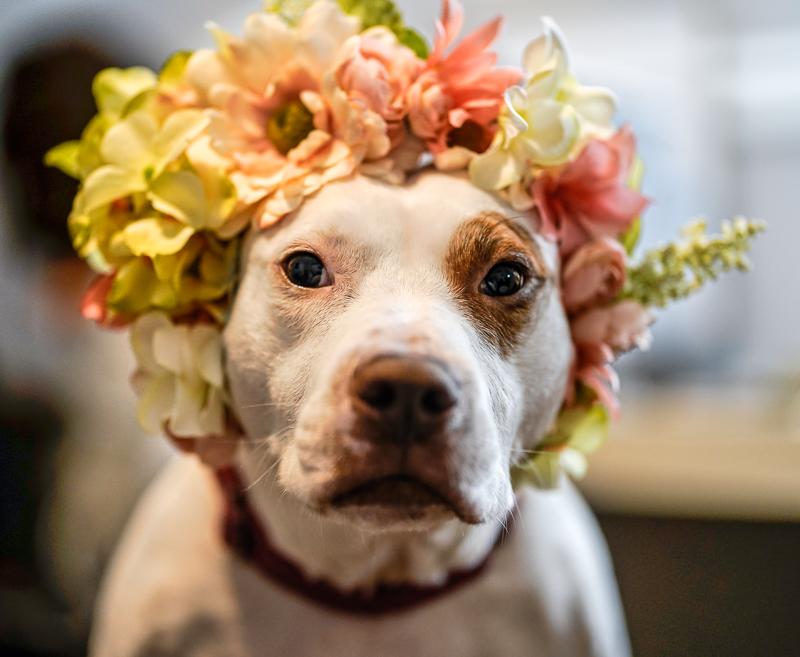 pit bull mix wearing floral crown, ©Capture Wonder Photography, Atlanta, GA