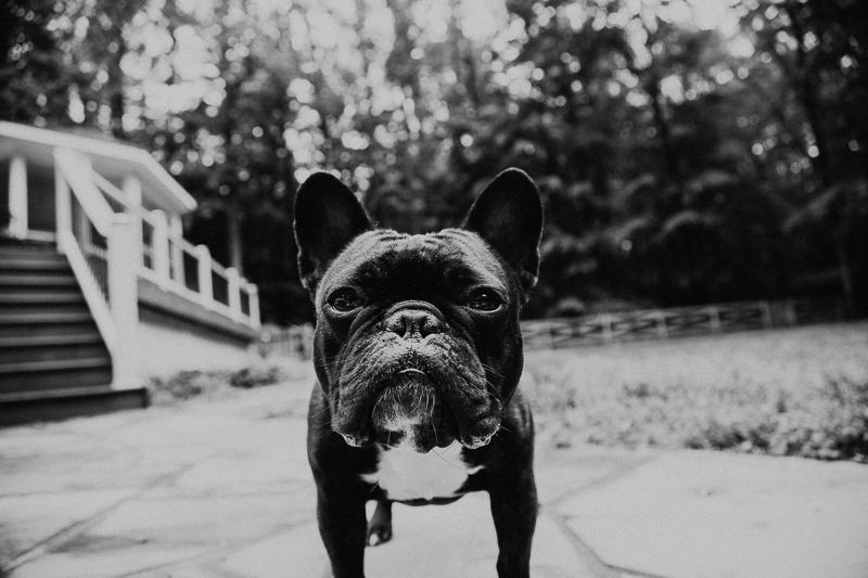 French bulldog, Fairfax VA lifestyle dog photography ©Erin Cruise Photography