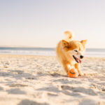 Engaging Tails:  Roxy the Corgi Mix    San Diego