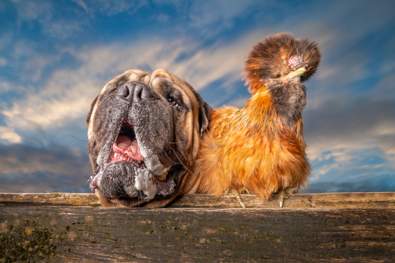 dog and chicken BFFs, sunset pet photography session, ©Island Paw Prints