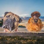 Axel the Bullmastiff & His Chicken BFF | Phillip Island