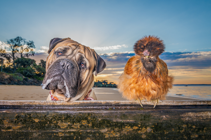 Silkie chicken and canine best friend at the beach, ©Island Paw Prints, Phillip Island