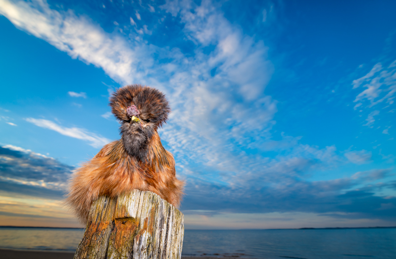 Silkie chicken sitting on marine piling, ©Island Paw Prints | lifestyle pet photography