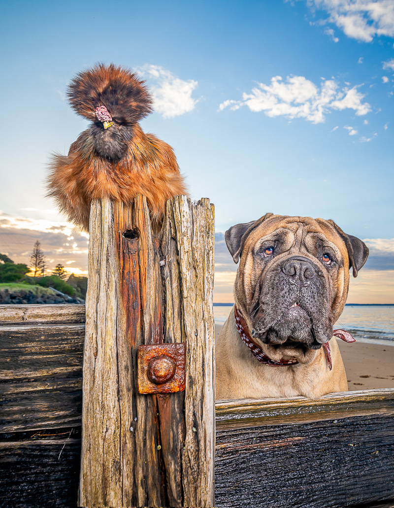 Silkie chicken and Bullmastiff at the beach ©Island Paw Prints, Phillip Island