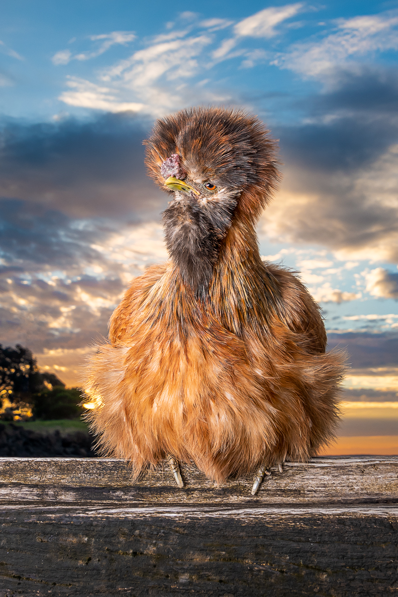 Phillip Island pet photography, gorgeous pet Silkie chicken on fence, ©Island Paw Prints