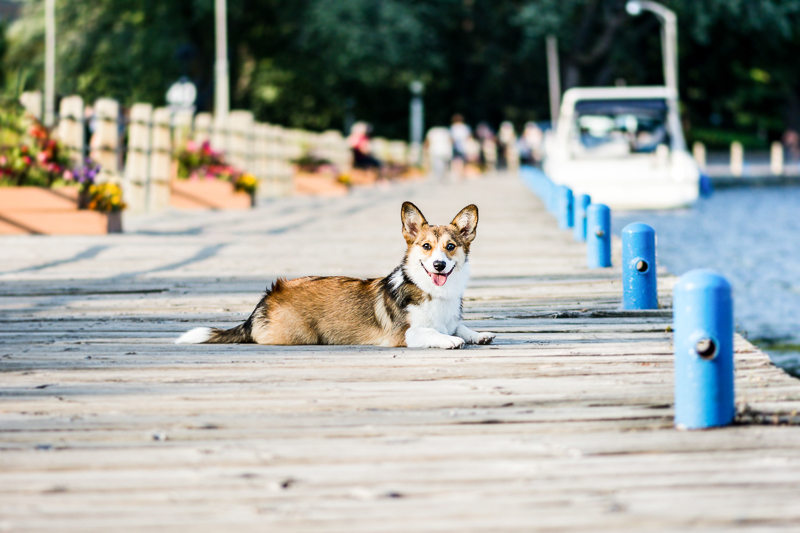 Corgi with tail on dock | ©Beth Photography, Ontario pet photographer