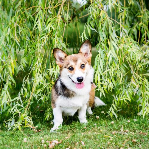 Puppy Love:  Lola the Corgi
