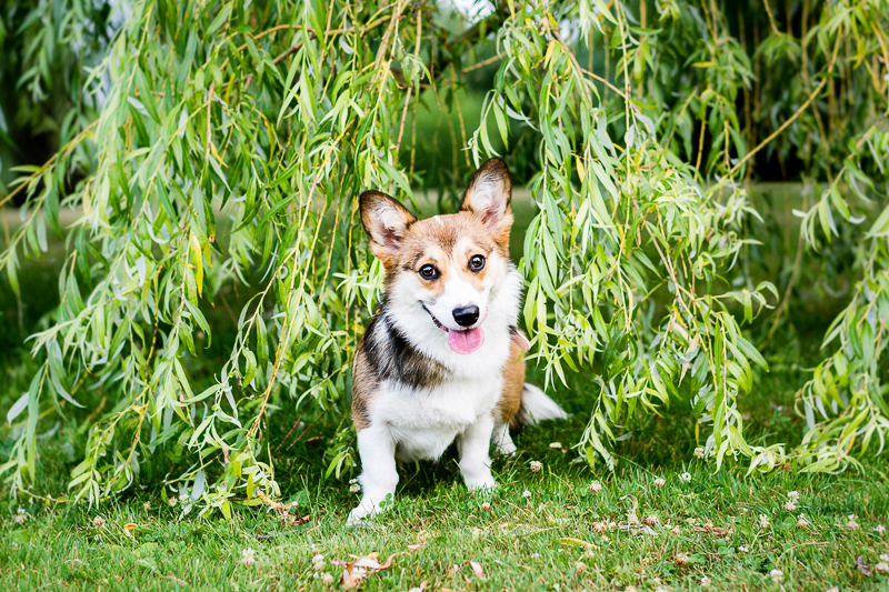 Corgi and willow branches | ©Beth Photography, Avonmore pet photographer
