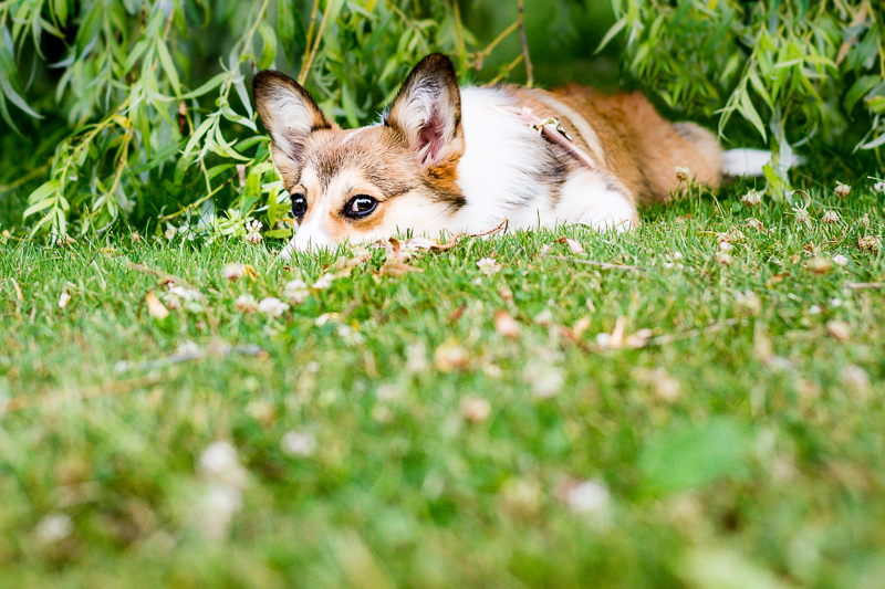 dog lying down on the grass | ©Beth Photography, lifestyle dog photography