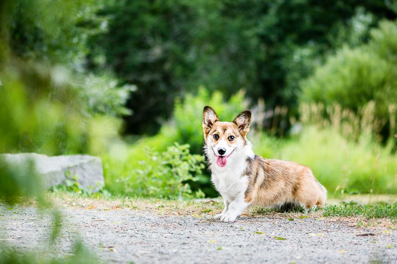 Pembroke Welsh Corgi, lifestyle pet photography ©Beth Photography, Ontario pet photographer