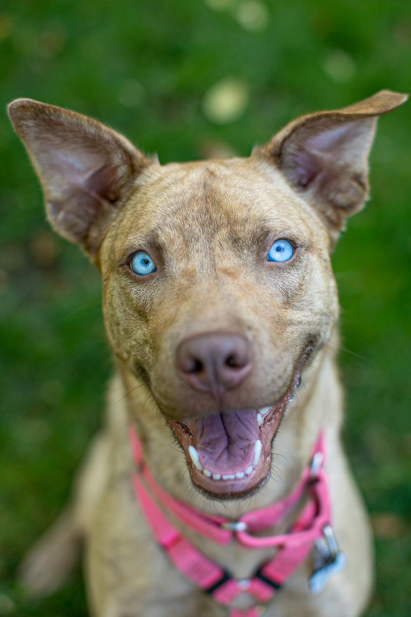 ©K Schulz Photography adoptable Husky mix- Warrior Dog Rescue, lifestyle pet portraits, Minneapolis, St. Paul