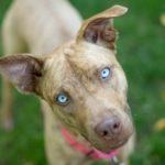 Adopt Me:  Nadia the Husky Mix   Warrior Dog Rescue