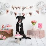 Dog Pawty:  Jackie the Black Labrador