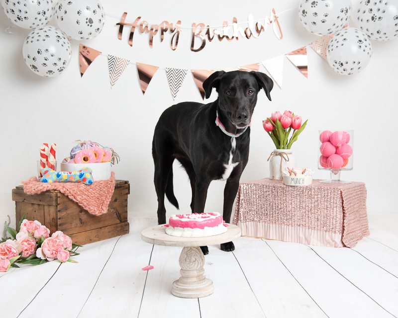 black lab mix, birthday party photoshoot ©Luciana Calvin Photography, Chelmsford, MA