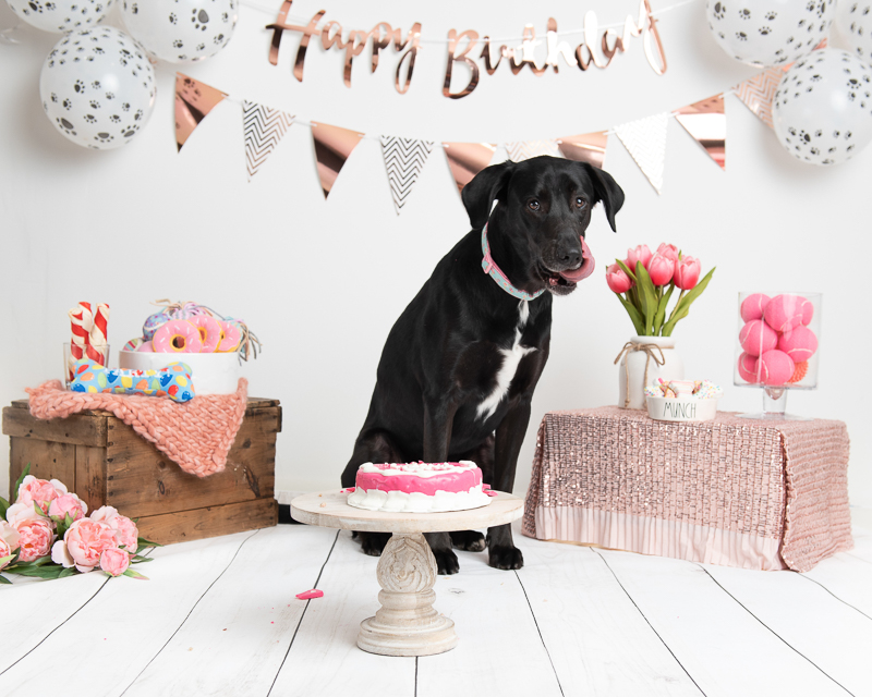 birthday party for black lab mix |©Luciana Calvin Photography, Chelmsford, MA