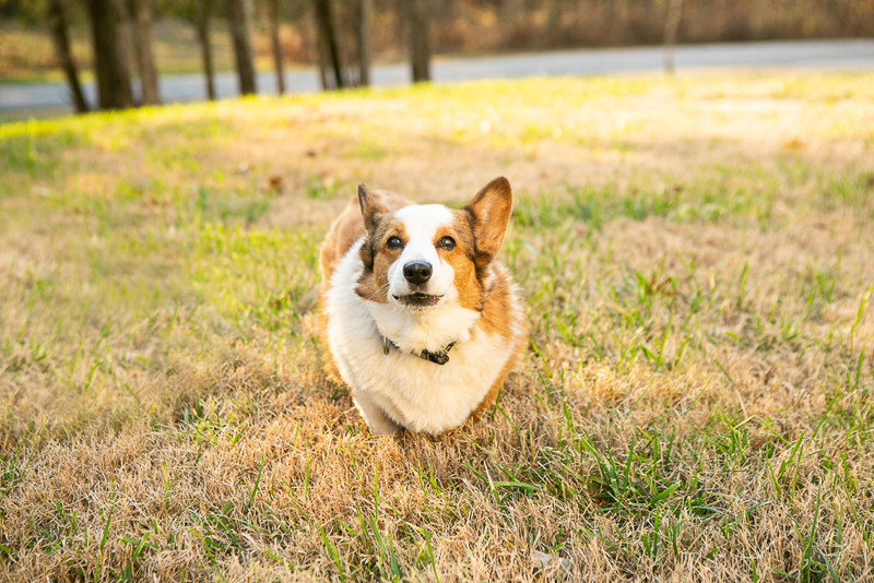 cute Corgi in front yard, Nashville on location pet portraits | ©Mandy Whitley Photography |