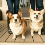 Happy Tails:  Norman and Gracie the Corgi Duo | Nashville