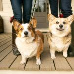 Happy Tails:  Norman and Gracie the Corgi Duo | Nashville