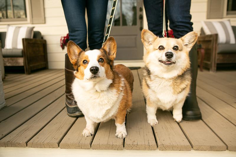adorable Corgi duo on porch, ©Mandy Whitley Photography | Nashville, TN
