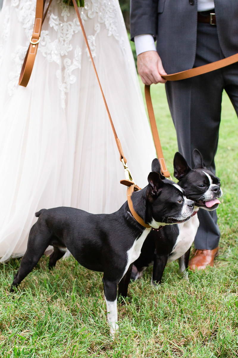 Boston Terriers wearing leather collars and leashes with bride and groom | ©Megan Rei Photography | dog-friendly wedding photography