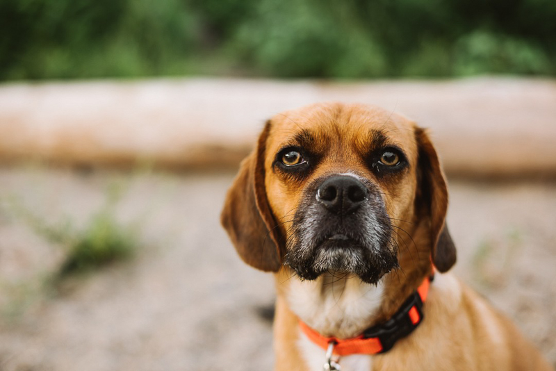 Puggle, lifestyle pet photography, Burlington Waterfront | ©Mei Lin Barrel Photography