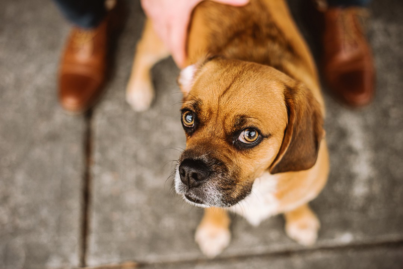 lifestyle dog photography, Puggle | ©Mei Lin Barrel Photography