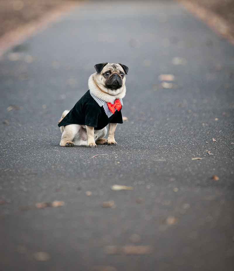 lifestyle dog photography, Pug | ©Pupparazzi Pet Photography, Melbourne, Victoria