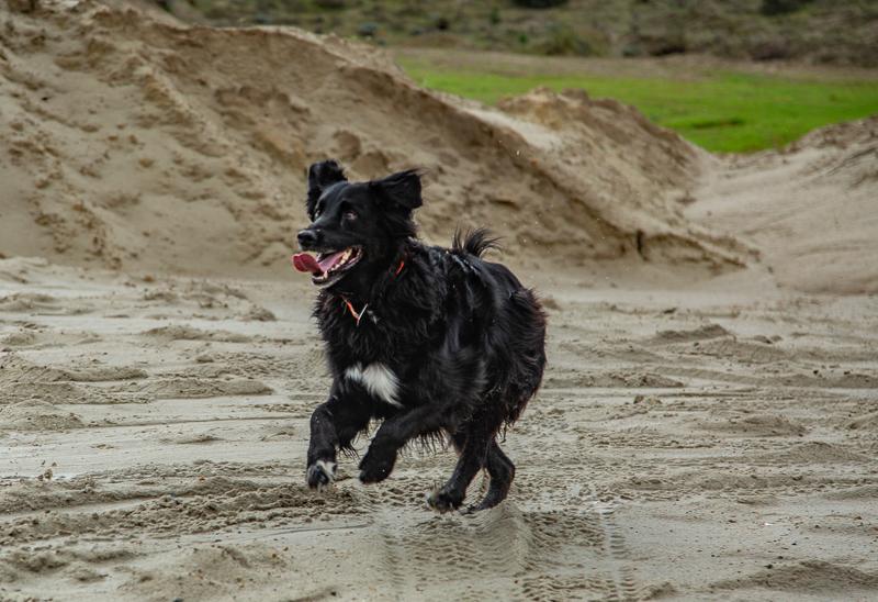 senior dog running on sand, ©SLO Town Studios