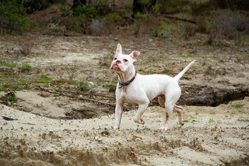 white dog running on sand, hiking with dogs | ©SLO Town Studios