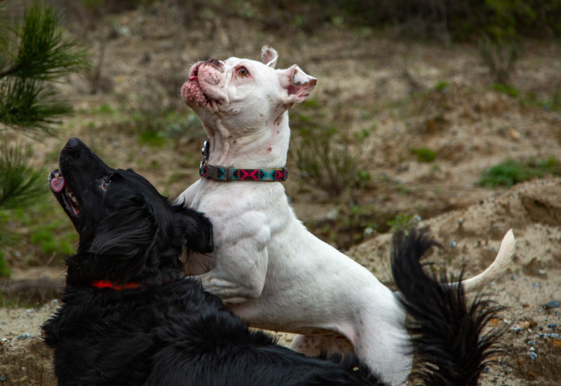 Retriever mix and American Bulldog playing outside | ©SLO Town Studios