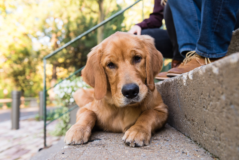 Syracuse pet photography, Golden Retriever on cement steps, ©Alice G Patterson Photography