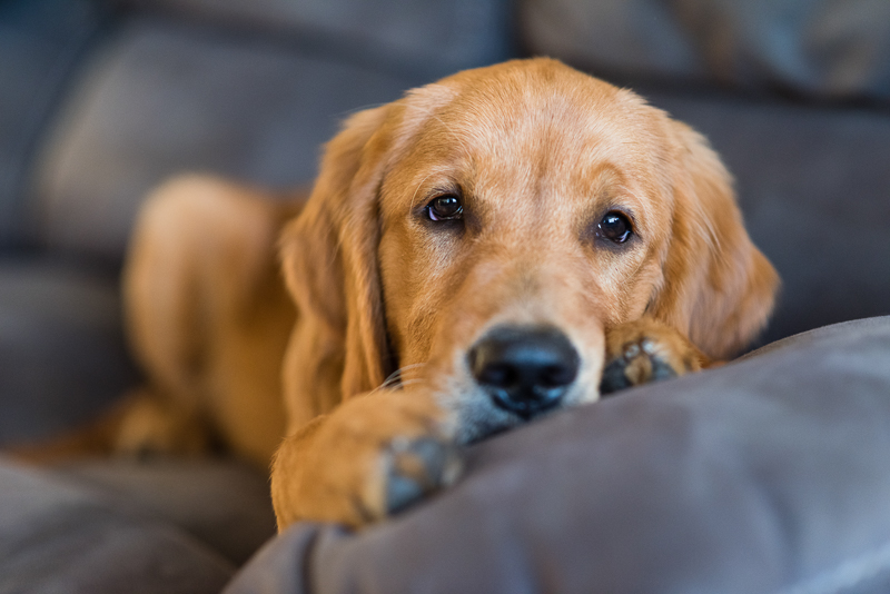 cute Golden Retriever on gray sofa, dogs on furniture, lifestyle pet portraits | ©Alice G Patterson Photography