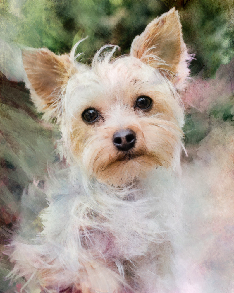 Yorkshire Terrier, digital pet portraits | Steffie Smith/Cariad Photography