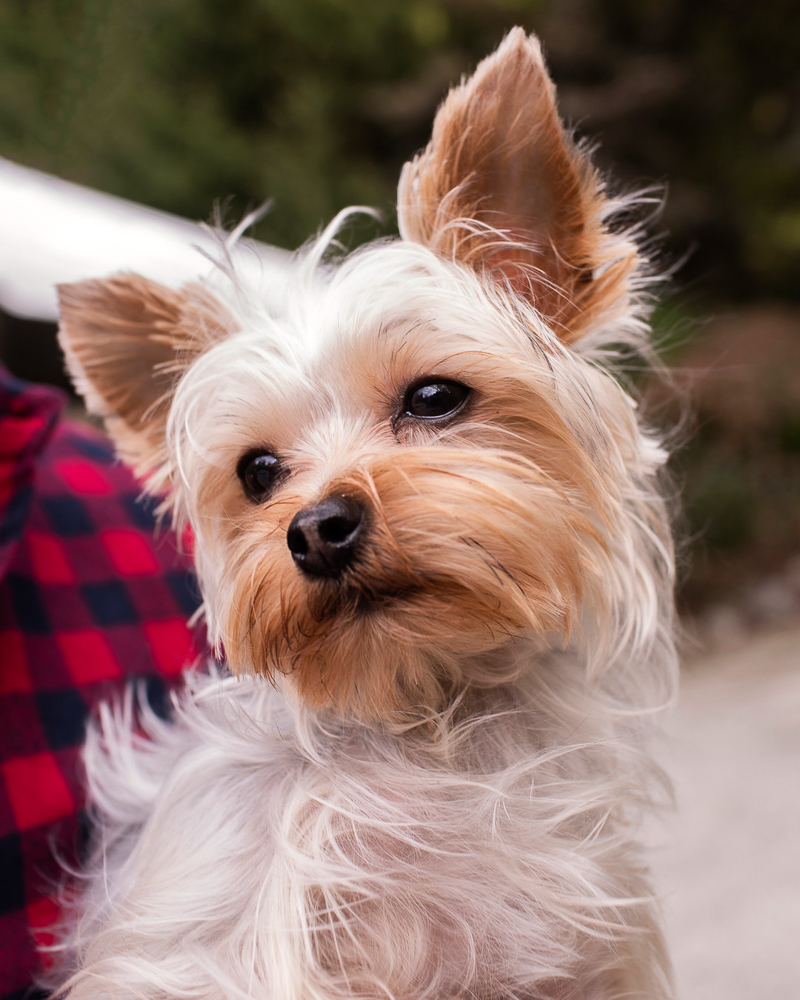cute Yorkie | ©Cariad Photography, lifestyle pet portraits