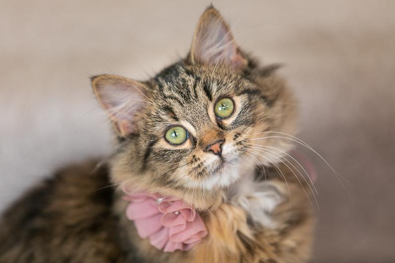 cute tabby kitten wearing fabric flower, MN pet photography ©K Schulz Photography