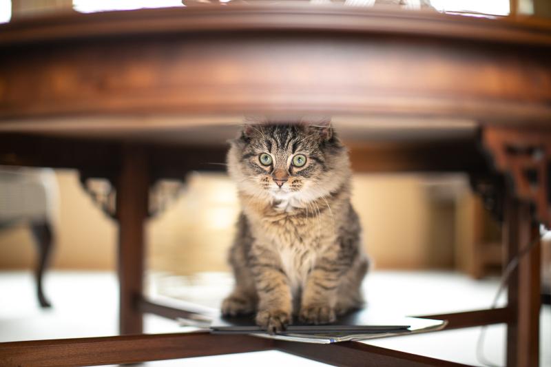 cat sitting under table, ©K Schulz Photography, MN pet photographer
