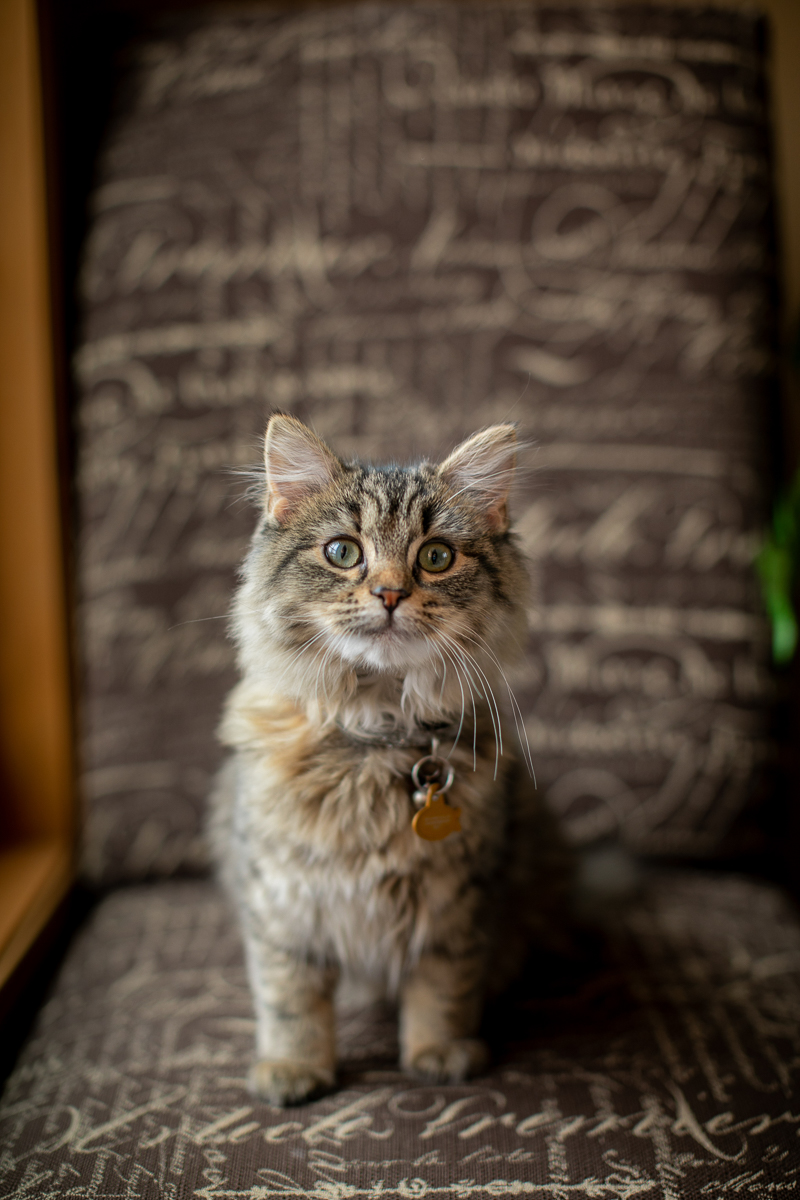 kitten on chair, in home cat portrait session | ©K Schulz Photography, Minnesota pet portraits