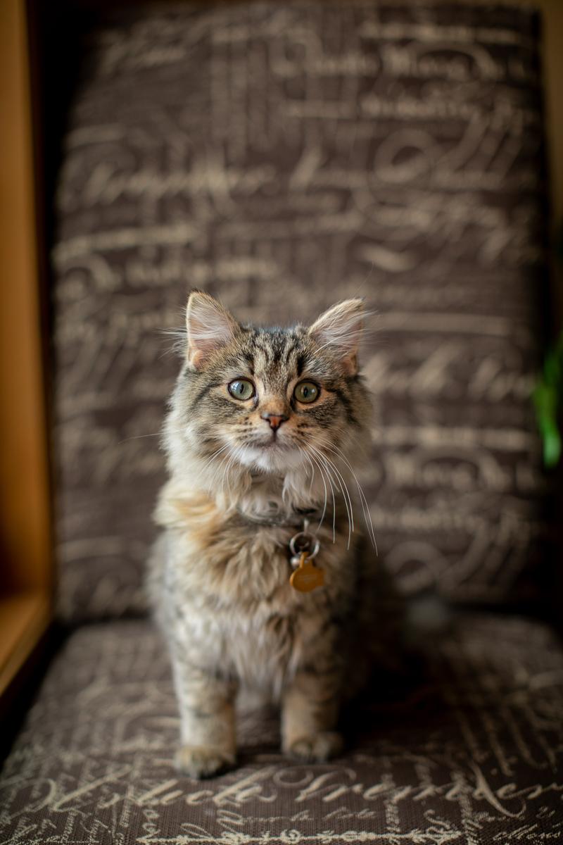 kitten on chair, in home cat portrait session | ©K Schulz Photography, Minnesota pet portraits