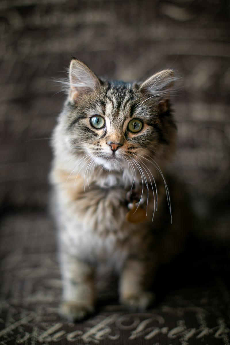 cute tabby kitten sitting on upholstered chair | ©K Schulz Photography, Minnesota pet portraits