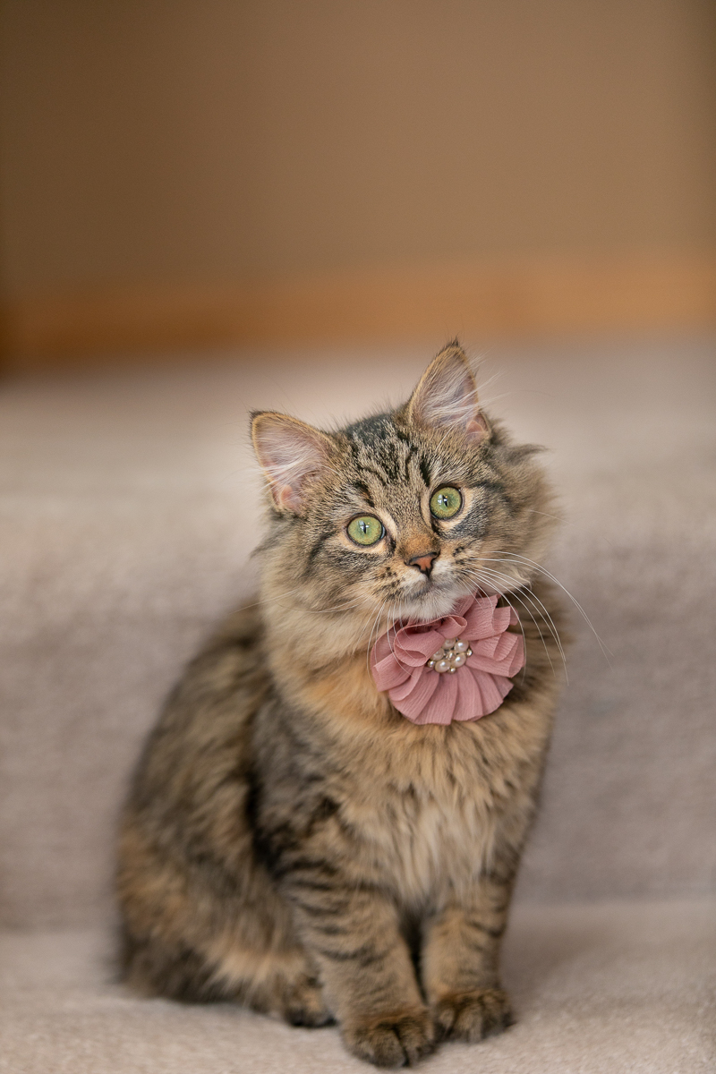 cute kitten wearing a dusty pink flower | ©K Schulz Photography, Minnesota cat portraits