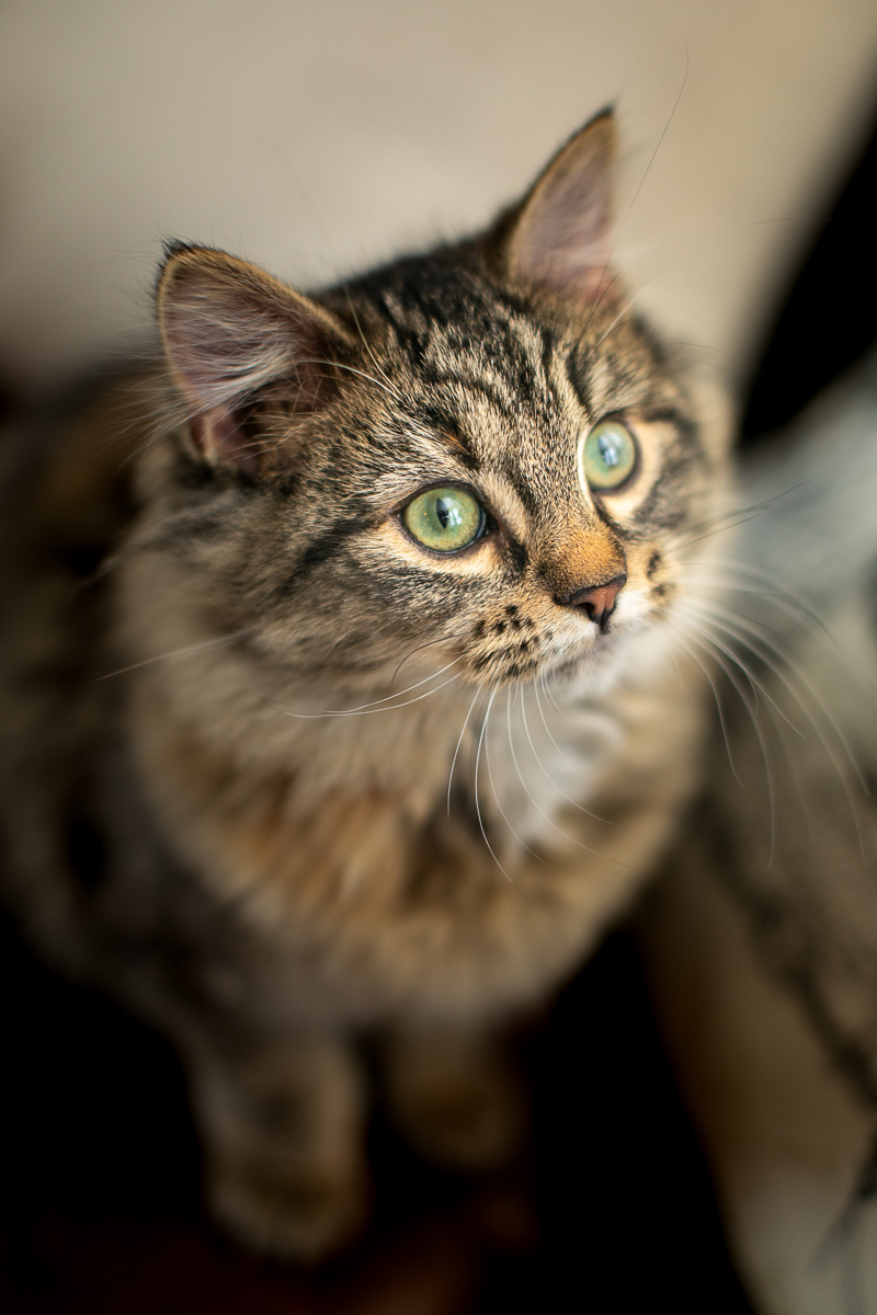 long haired kitten looking up, relaxed cat photography | ©K Schulz Photography, MN pet photographer